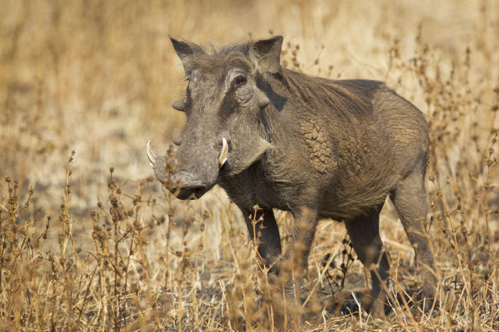 A sole warthog contemplates what lies ahead. (Photo: Will Burrard-Lucas/Caters News)