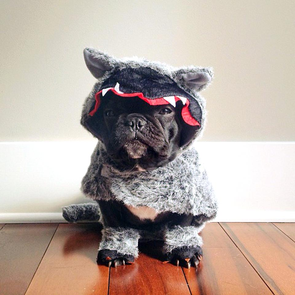 PIC BY SONYA YU / CATERS NEWS - (PICTURED: Trotter dressed up as a wolf) - An adorable little French Bulldog has been playing dress-up and has impressively gathered a following of 30,000 on Instagram. The photogenic hipster, called Trotter, wears a range of outfits from a beret, moustache, top hat and pipe to high heels. Owner and Trotters photographer Sonya Yu said her little pup is simply a natural in front of the camera. SEE CATERS COPY