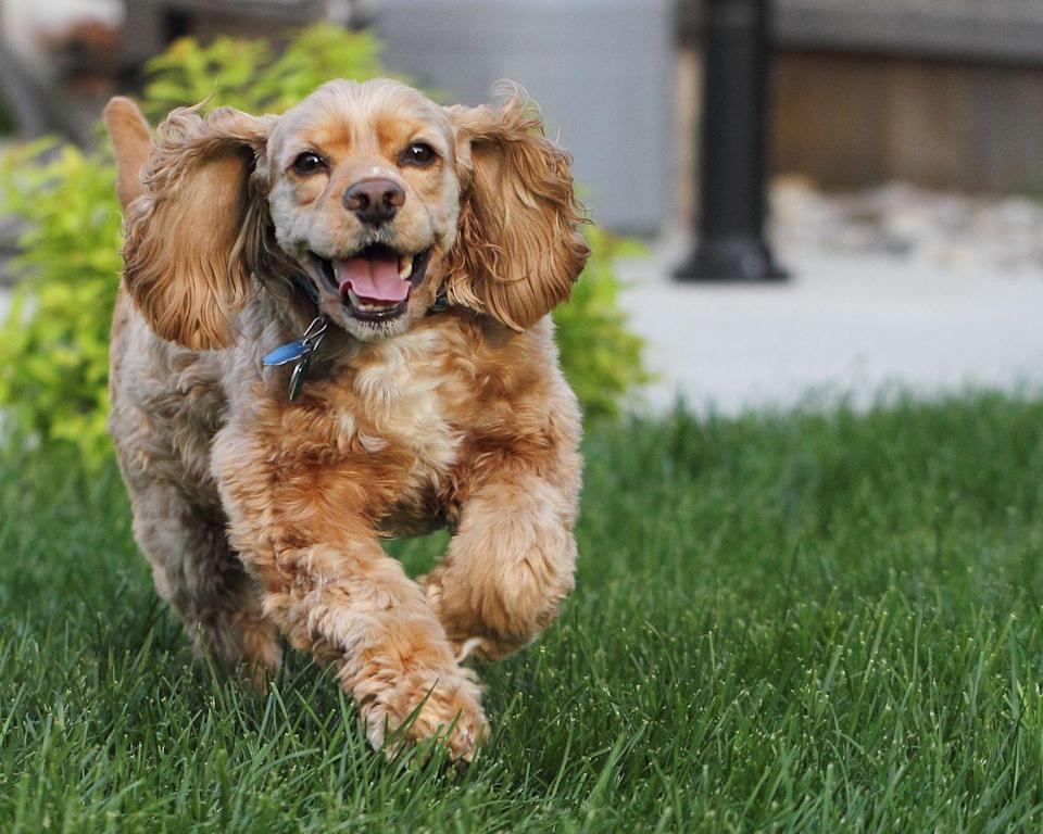 """<p>Cocker Spaniels are high-energy dogs with a penchant for eating more than they should. According to Vet Street, <a href=""""http://www.vetstreet.com/dogs/cocker-spaniel#health"""" rel=""""nofollow noopener"""" target=""""_blank"""" data-ylk=""""slk:Cocker Spaniels are also prone to hypothyroidism"""" class=""""link rapid-noclick-resp"""">Cocker Spaniels are also prone to hypothyroidism</a>, which is the underproduction of the thyroid hormone that keeps weight in check. </p>"""