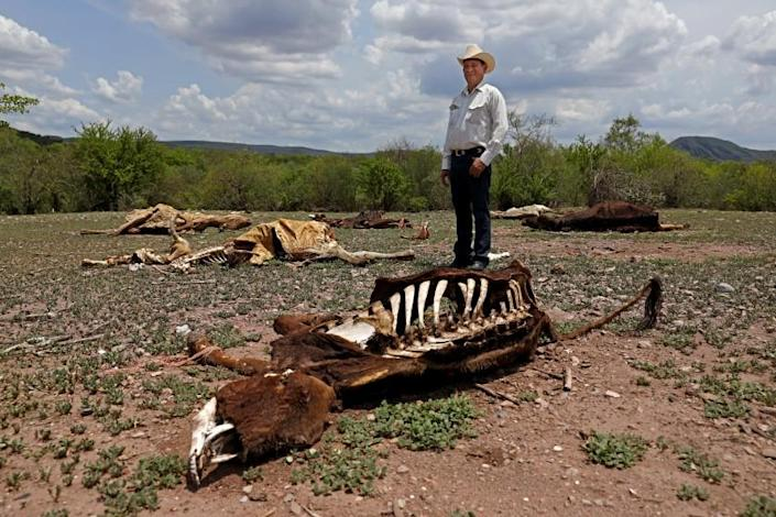 BUENAVISTA, SONORA - JULY 22: Marco Antonio Gutierrez, 55, of Buenavista, a cattle rancher, poses for a photo next to dead livestock that died of starvation lie on the dry and barren ground on Thursday, July 22, 2021 in Buenavista, Sonora. Gutierrez, who has lost cattle during the drought, has had to take up fishing to help earn income to buy bales of alfalfa to feed his cattle. Many poor ranchers rely on the rain to grow grass to feed their cattle. With no rain because of the drought many ranchers' cattle have died of starvation because there is no money to buy bales of alfalfa to feed livestock. Northern Mexico, Sonora ...drought has affected cattle ranching throughout Mexico and the U.S. but is also going to look at a larger question: In a warming world is there a future for cattle and most connected to the cattle industry. Trickle down effect. (Gary Coronado / Los Angeles Times)