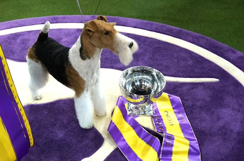 "King, the wire hair fox terrier, poses after winning ""Best in Show"" at the Westminster Kennel Club 143rd Annual Dog Show in Madison Square Garden in New York on Feb. 12, 2019. (Photo: Timothy A. Clary/AFP/Getty Images)"