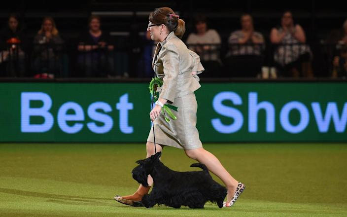 A Scottish Terrier won Best in Show at Crufts in 2015 - PA