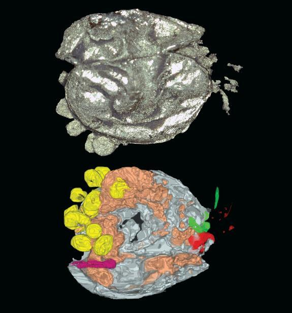 The ostracod <i>Luprisca incuba</i>, as imaged by X-ray and CT scans Eggs and possible hatched young are in yellow.