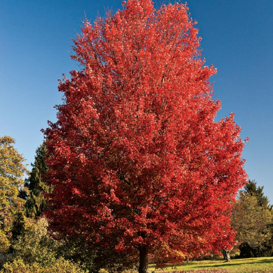 <p>What's the most dependable tree in the South for spectacular red fall foliage? 'October Glory' red maple (<em>Acer rubrum</em> 'October Glory'). It grows 50 to 60 feet tall, and you can get it at most garden centers. September is a great time to plant.</p>