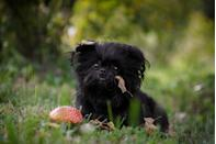 """<p>Playfully referred to as """"monkey dogs"""" and """"ape terriers,"""" according to the AKC, <a href=""""https://www.akc.org/dog-breeds/affenpinscher/"""" rel=""""nofollow noopener"""" target=""""_blank"""" data-ylk=""""slk:the Affenpinscher"""" class=""""link rapid-noclick-resp"""">the Affenpinscher</a> is loyal, curious, confident, and famously amusing. Some <em>Star Wars</em> fans even argue whether Affens look more like Wookies or Ewoks. Their dense, harsh coat is neat but shaggy, and the pups only shed a couple times of year when the seasons change. """"Seasonal shedding is common as dogs adjust to changing temperatures,"""" Dr. Harris says. </p>"""