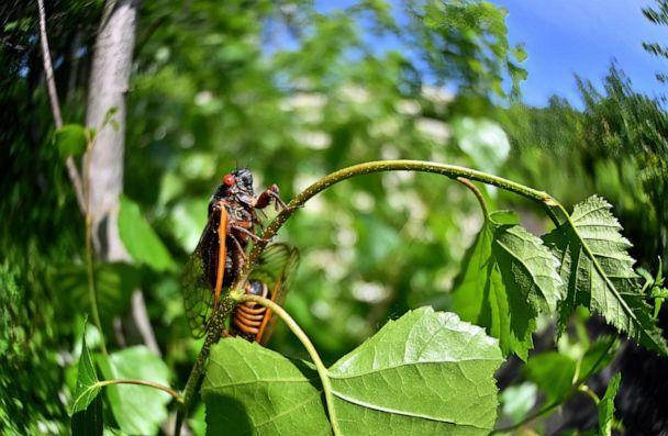 PHOTO: Brood X also known as the Great Eastern Brood Cicada seen in Pennsylvania, June 5, 2021.  (Aimee Dilger/SOPA Images/Shutterstock)