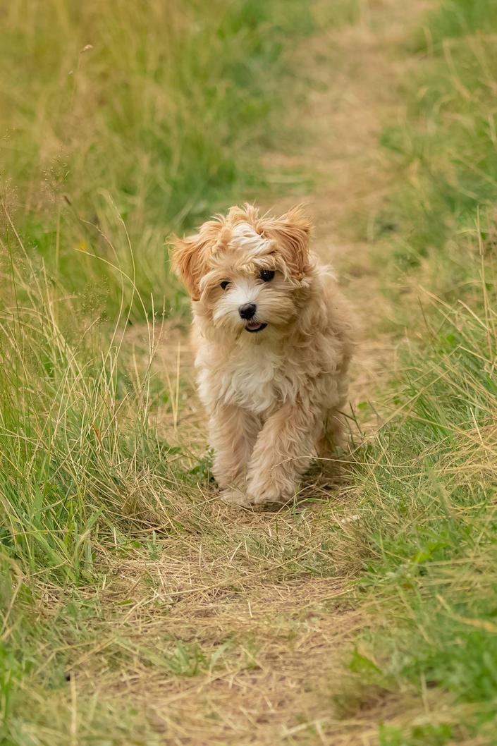 """<p><a href=""""https://www.akc.org/dog-breeds/lowchen/"""" rel=""""nofollow noopener"""" target=""""_blank"""" data-ylk=""""slk:Löwchen"""" class=""""link rapid-noclick-resp"""">Löwchen</a>, which is German for """"little lion,"""" the AKC notes, are a popular breed in Continental Europe. They're portable, non-shedding pups, who are known for being affectionate, lively, and, of course, brave as a lion. Löwchen's hypoallergenic coats come in several colors and color combinations, easily pleasing any owner. </p>"""