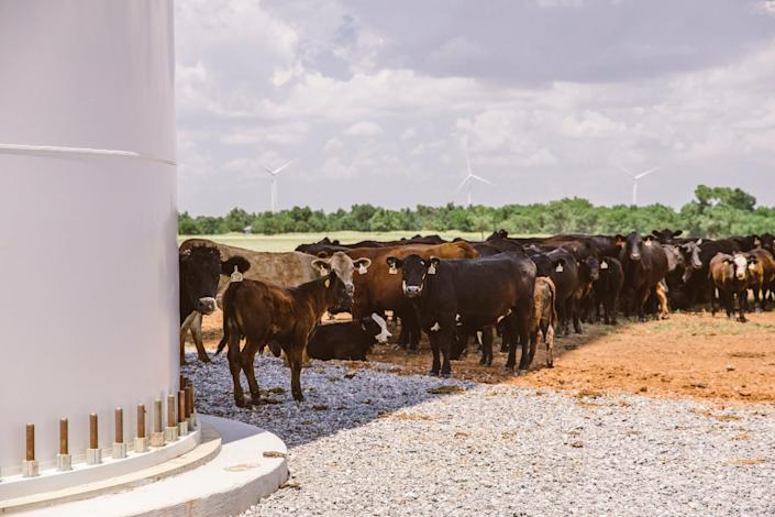 """Cattle at the Arbuckle Mountain Wind Farm in Murray County, Oklahoma. The formation is known as a """"bovine sundial"""" When the weather is hot, the cattle line up in the shade of the wind turbine tower, slowly shuffling to the side as the shadow moves with the sun. June 2016,"""