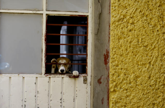 "<p>A dog found wandering the streets in the aftermath of a 7.1-magnitude earthquake, stands on his hind legs, looking out from ""La Casa del Mestizo"" animal shelter, in Mexico City, Friday, Sept. 22, 2017. (Photo: Natacha Pisarenko/AP) </p>"