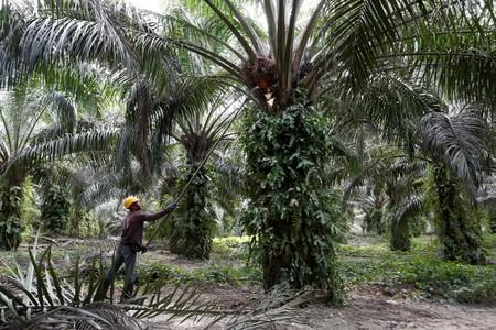 Malaysia could replace Indonesia as top palm oil supplier to India - trade