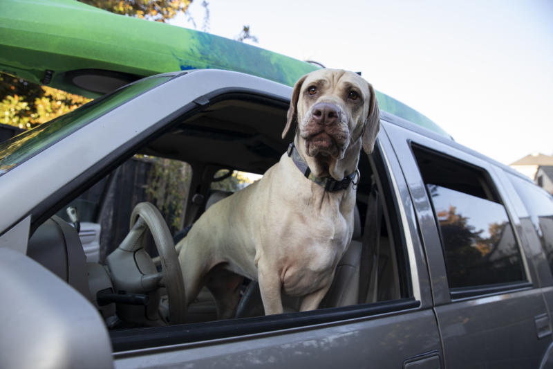Ruby waits for his owner to evacuate as a wildfire called the Kincade Fire threatens the area near Healdsburg, Calif., Saturday, Oct. 26, 2019. (AP Photo/Ethan Swope)