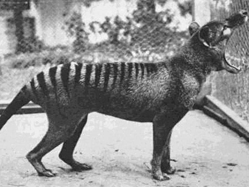 The Tasmanian tiger had a distinctive large bite, shown here in a still from one of the few videos shot of the extinct beast