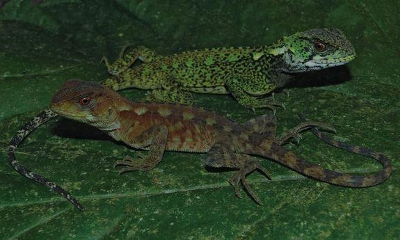 A male (top) and female of the newfound woodlizard species Enyalioides azulae.