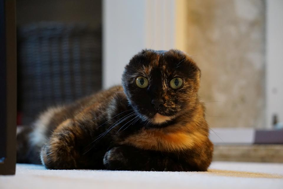A unique cat with no ears has found a loving new home amid the coronoavirus lockdown. See National story NNcat; Missy (pictured)  is the first animal from Battersea Dogs & Cats Home to go to a new home since the lockdown measures came into place. The beautiful tortoiseshell feline was brought to the charity's London centre at the start of February when her owner's circumstances changed. Shortly after arriving, staff noticed that the three-year-old cat often seemed unhappy and was frequently shaking her head. They discovered that both ears contained polyp masses and were severely infected. After exploring all options, vets made the decision to operate on Missy's ear canals and remove the outside of her ears.