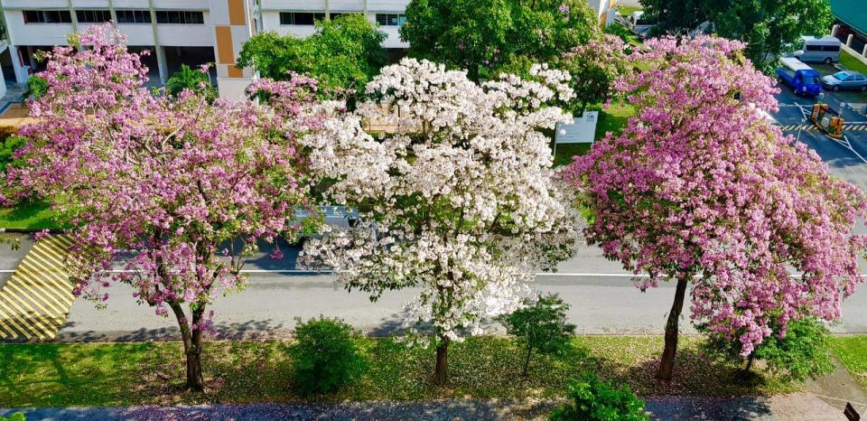 Flowering trumpet trees on Hougang Street 22. (PHOTO: National Parks Board)