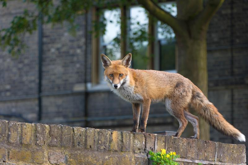 Urban fox standing on a wall