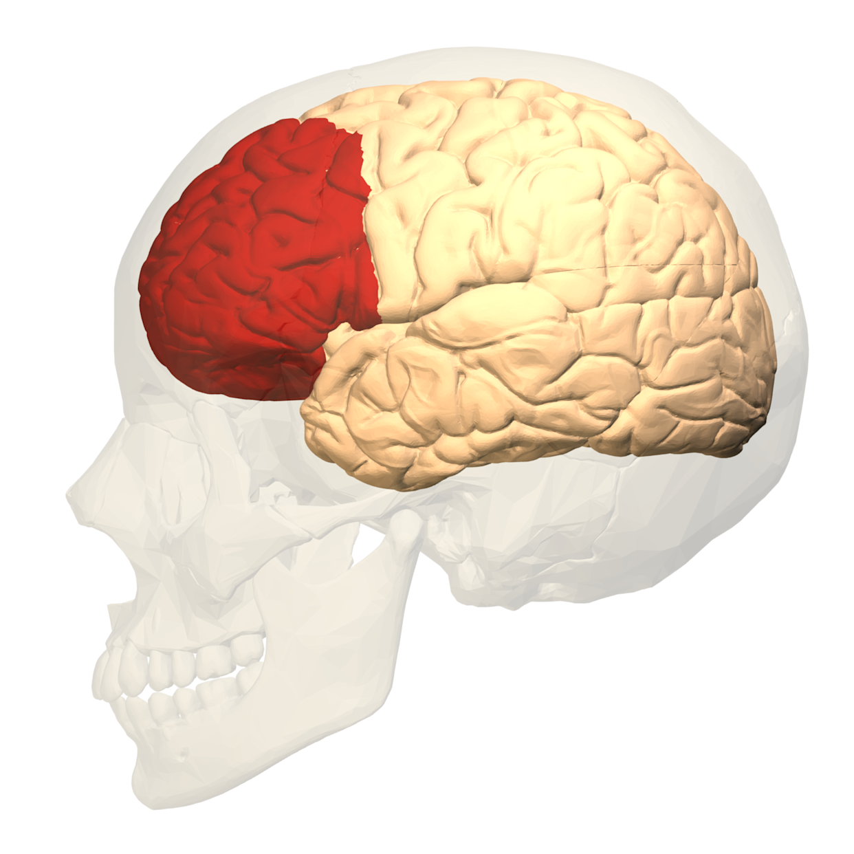 Prefrontal_cortex_(left)_ _lateral_view
