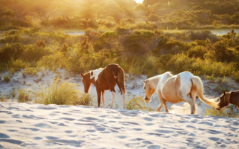 Assateague Island National Seashore is a barrier island park fronted by undulating sand dunes, and home to scores of wild horses - sdominick