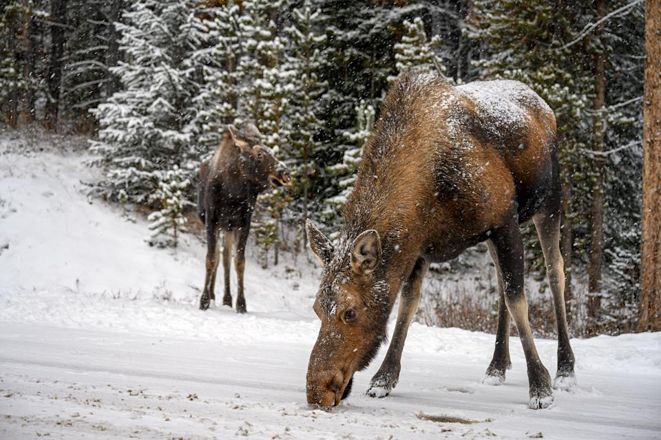 Majestic moose cow (Alces alces) standing in snow in a winter forest in Jasper National Park, Alberta, Canada