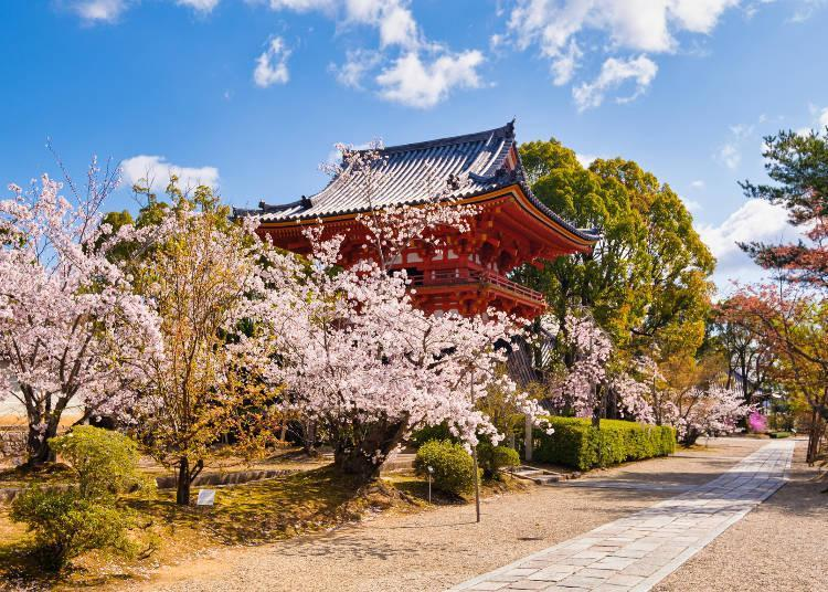 You can enjoy the cherry blossoms at eye level