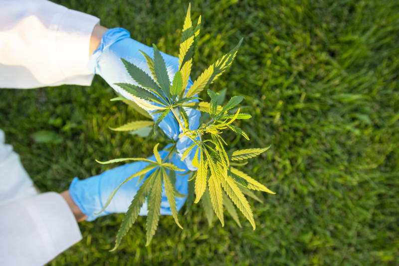 Woman hands in white coat and blue medical gloves holding green branch cannabis with five fingers leaves, marijuana for legalization medical oil hemp