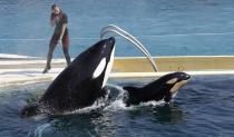 """FILE - In this April 18, 2011 file photo, killer whale """"Wikie"""", jumps with its baby, a female born one month ago at the Marineland aquatic park in Antibes, southeastern France. French lawmakers start debating Tuesday a bill that would ban using wild animals in traveling circuses and keeping dolphins and whales in captivity in marine parks, amid other measures to better protect animal welfare. (AP Photo/Lionel Cironneau, File)"""