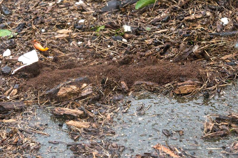 Fire ants cling together to ride outthe floods during Hurricane Harvey.