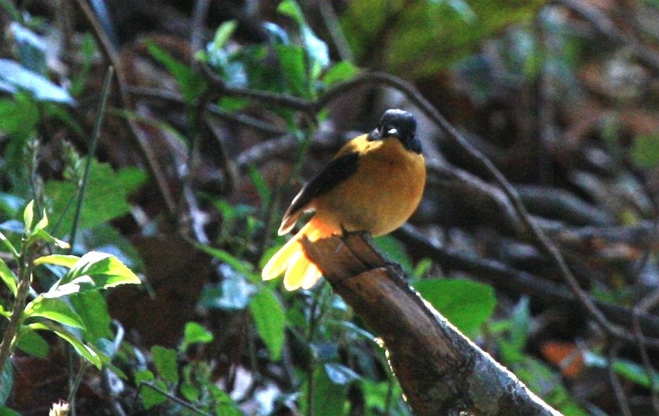 <b>Black-and-Orange Flycatcher:</b> A rare endemic of the southern part of the Ghats, this little bird feeds more on the ground (like a thrush) on a menu of worms, and hunts less on the wing as a flycatcher is supposed to.