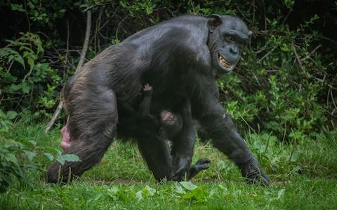 The chimp, who hasn't been named yet, with mother Alice - Credit: Chester Zoo
