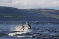 <p>Tumbling and turning through the surf, the bottlenose dolphin (Tursiops truncatus) is one of the sea's most social species. Living in pods of up to 15, they form close-knit communities, cooperating to catch food, avoid sharks and take care of newborns. Once a calf joins the ranks, its mother will accompany it for up to three years, teaching it how to hunt and where to roam via a series of whistled signals. Scientists have found that a female will call in this way ten times more often after giving birth – it's thought to help her young learn to identify her 'voice'. Found throughout the UK, bottlenoses are commonly spotted in the Moray Firth, Cardigan Bay and off the coast of Cornwall.</p>