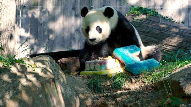 PHOTO: Giant panda Bei Bei eats his frozen 4th birthday cake at the Smithsonian National Zoo in Washington, D.C, Aug. 22, 2019. (Alastair Pike/AFP/Getty Images)