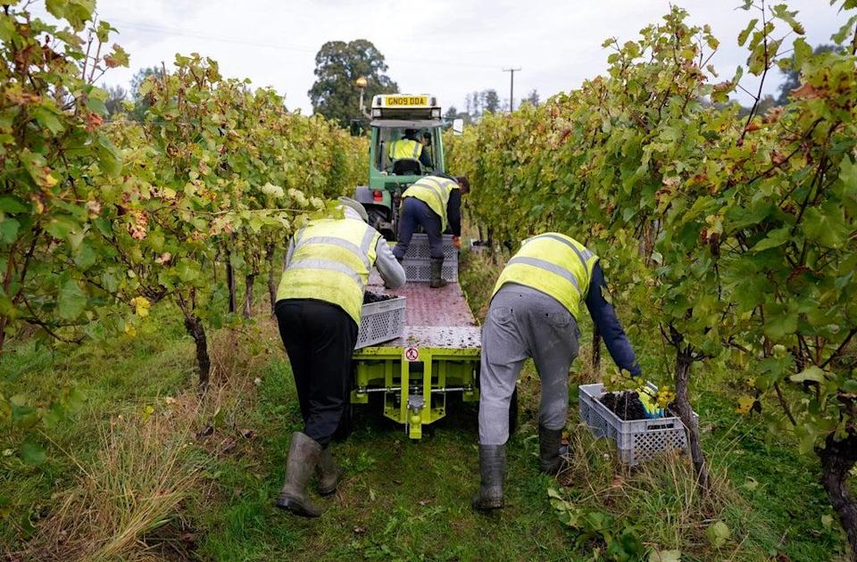 Pinot Meunier grapes are harvested for Nyetimber Wines on the Nutbourne vineyard (PA) (PA Wire)