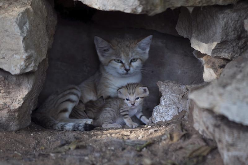Rotem, a mother sand cat, with her kittens at a zoo near Tel Aviv in 2015. (Baz Ratner / Reuters)