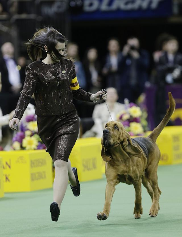 Nathan, a bloodhound, competes with other dogs in the Hound group during the 138th Westminster Kennel Club dog show, Monday, Feb. 10, 2014, in New York. (AP Photo/Frank Franklin II)