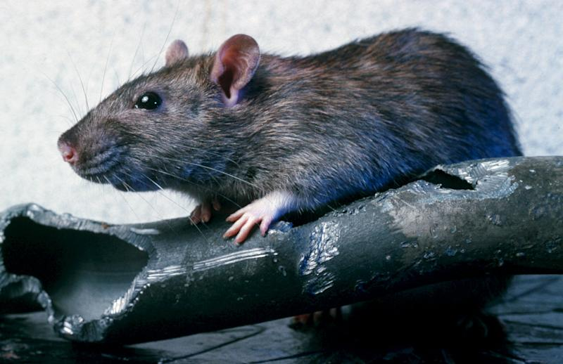 A plague of mutant rats resistant to most poisons have been found in areas of the UK (Image: Rex)