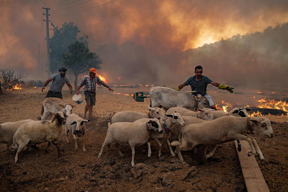 """Men gather sheeps to take them away from an advancing fire in Mugla, Marmaris district, Turkey on Aug. 2.<span class=""""copyright"""">Yasin Akgul—AFP/Getty Images</span>"""