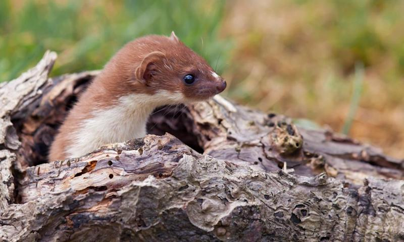 A weasel emerging from a hole in a log.