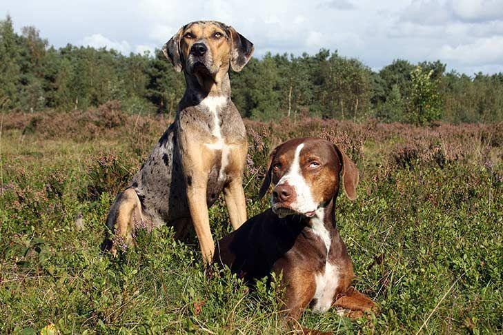 <p>This spotted breed was originally bred in Louisiana. They're independent, territorial, and protective. </p>