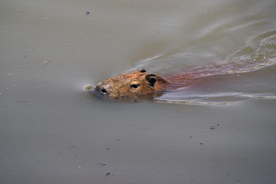 A capybara swims in the Pinheiros River in Sao Paulo, Brazil, Thursday, Oct. 22, 2020. Affected by domestic sewage and solid wastes discharges for years, Sao Paulo's state government is again trying to clean the Pinheiros River, considered one of the most polluted in Brazil. (AP Photo/Andre Penner)