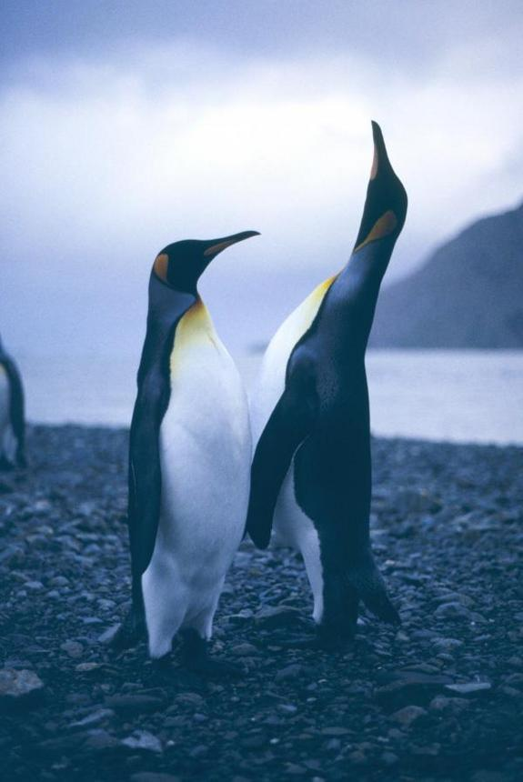 King Penguins' Genes Explain Ancient Island-Hopping