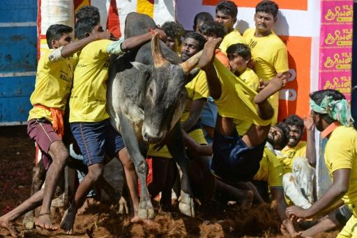 Men in colourful jerseys tried to grab the bulls who swayed their long horns and gnarled in fury