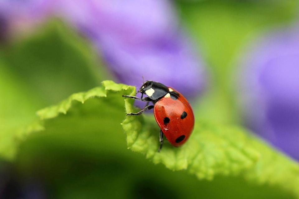"""<p><strong>What it looks like</strong>: You're probably very familiar with this one. Ladybugs are tiny, oval, winged beetles that are usually between <a href=""""http://entnemdept.ufl.edu/creatures/beneficial/lady_beetles.htm"""" rel=""""nofollow noopener"""" target=""""_blank"""" data-ylk=""""slk:1 to 10 millimeters (mm) in length"""" class=""""link rapid-noclick-resp"""">1 to 10 millimeters (mm) in length</a>, depending on the species. They are typically bright red with black spots.</p><p><strong>Where you'll find it</strong>: You can find them in your home in autumn between September through November, when the temperatures drop and they seek a warm spot for winter. They <a href=""""https://entomology.ca.uky.edu/ef416#targetText=Asian%20lady%20beetles%20generally%20do,attack%20wood%2C%20food%20or%20clothing."""" rel=""""nofollow noopener"""" target=""""_blank"""" data-ylk=""""slk:like to gather together within crevices"""" class=""""link rapid-noclick-resp"""">like to gather together within crevices</a>, like cracks around windows and door frames, soffits, attics, wall voids, and the area behind fascia boards and exterior siding.</p><p><strong>Can it harm you?</strong> These beetles are <a href=""""https://entomology.ca.uky.edu/ef416#targetText=Asian%20lady%20beetles%20generally%20do,attack%20wood%2C%20food%20or%20clothing."""" rel=""""nofollow noopener"""" target=""""_blank"""" data-ylk=""""slk:believed to trigger allergies"""" class=""""link rapid-noclick-resp"""">believed to trigger allergies</a>, ranging from eye irritation to asthma, potentially because they emit a stinky, yellow secretion when they feel they're in danger. Lady bird beetles also can bite (it feels like a pinch), but they are not poisonous and are rarely harmful.</p>"""