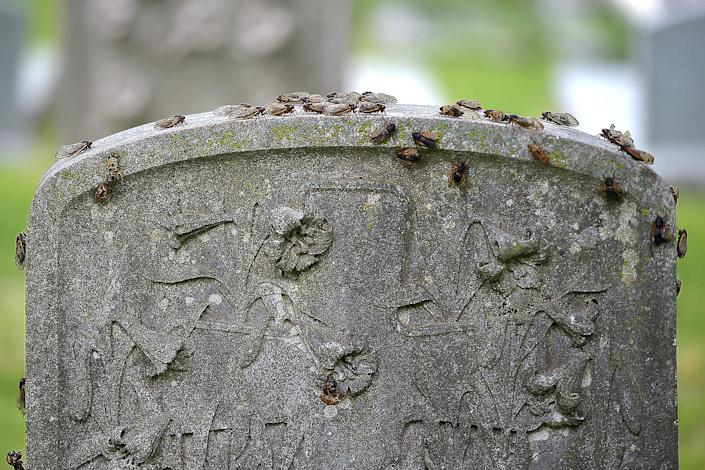 <p>Cicadas are seen climbing a tombstone at the Church of the Redeener in Bryn Mawr, Pennsylvania, on May 25.</p>