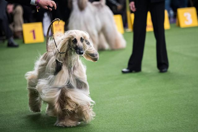 <p>An Afghan hound competes at the 142nd Westminster Kennel Club Dog Show at The Piers on eb. 12, 2018 in New York City. (Photo: Drew Angerer/Getty Images) </p>