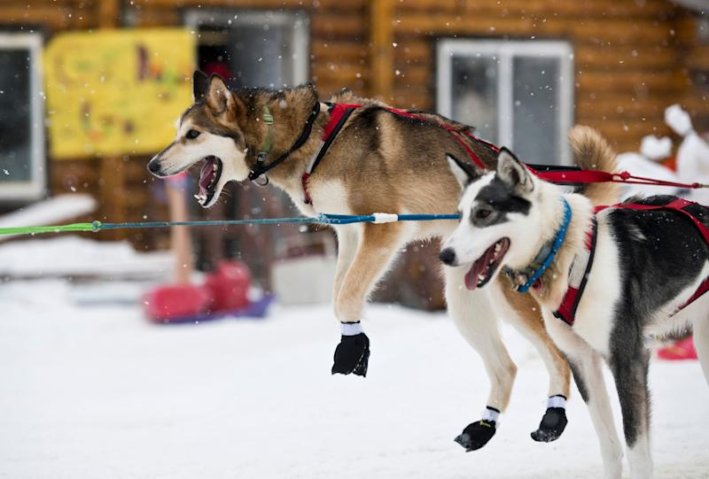 Raised awareness over the Iditarod has led to increased scrutiny on the welfare of the dogs involved. (AP)