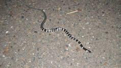 """<span class=""""caption"""">The many-banded krait (<em>Bungarus multicinctus</em>), also known as the Taiwanese krait or the Chinese krait, is a highly venomous species of elapid snake found in much of central and southern China and Southeast Asia.</span> <span class=""""attribution""""><a class=""""link rapid-noclick-resp"""" href=""""https://upload.wikimedia.org/wikipedia/commons/0/01/Bungarus_multicinctus_2.jpg"""" rel=""""nofollow noopener"""" target=""""_blank"""" data-ylk=""""slk:Briston/Wikimedia"""">Briston/Wikimedia</a>, <a class=""""link rapid-noclick-resp"""" href=""""http://creativecommons.org/licenses/by-sa/4.0/"""" rel=""""nofollow noopener"""" target=""""_blank"""" data-ylk=""""slk:CC BY-SA"""">CC BY-SA</a></span>"""