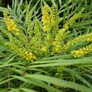 """<p>This compact shrub is evergreen and is happy to grow in shady spaces for year-round interest. </p><p><a class=""""link rapid-noclick-resp"""" href=""""https://www.crocus.co.uk/plants/_/mahonia-eurybracteata-subsp-ganpinensis-soft-caress/classid.2000019611/"""" rel=""""nofollow noopener"""" target=""""_blank"""" data-ylk=""""slk:BUY NOW"""">BUY NOW</a> <strong>from £14.99, Crocus</strong></p>"""