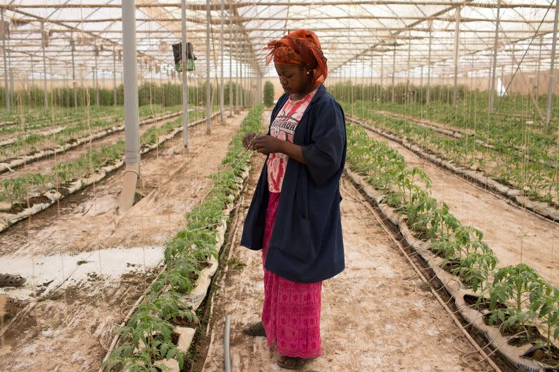 Haby Thera ties up tomato saplings in one of Amadou Sidibe's greenhouses in Katibougou