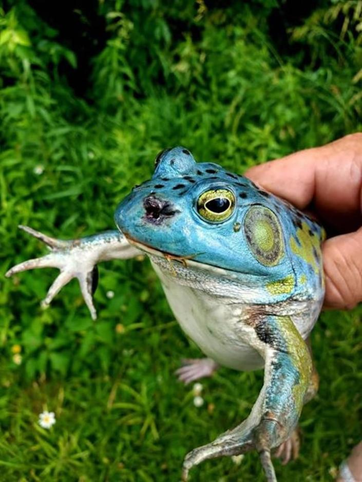 Ohio man Matt Minnich recently found and photographed an extremely rare blue bullfrog, sharing the photos with the Ohio Department of Natural Resources.