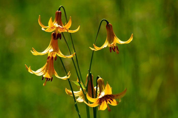 <p><em>Lilium canadense,</em> also known as the wild yellow-lily or meadow lily (because it's often found there), has downward-facing flowers that are yellow on the outside with a contrasting maroonish coloring on the inside. </p><p><em><strong>Division: American hybrid</strong></em></p>